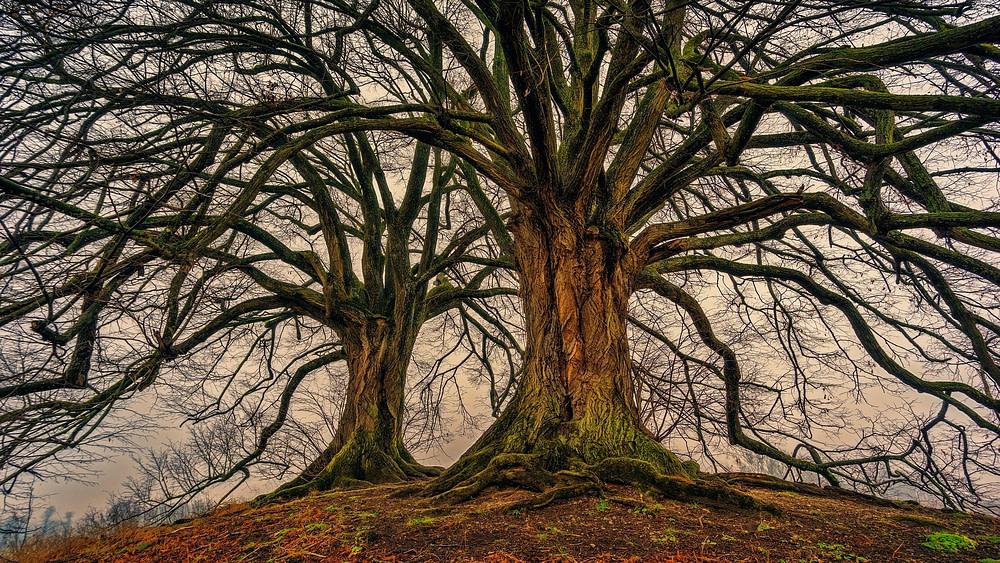dos árboles viejos sin hojas